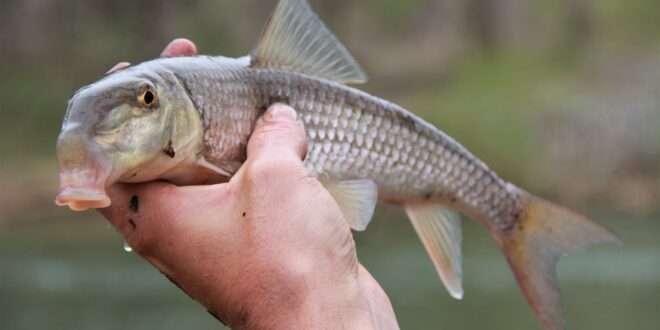 V Lip Redhorse Moxostoma Species