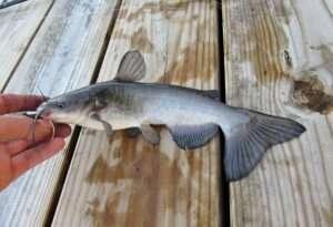 White Catfish Identification Guide